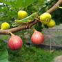 figstree