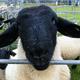 創作者 住在英國的黑臉羊 的頭像