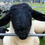 住在英國的黑臉羊