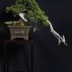 創作者 松和園 盆栽 的頭像