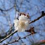 櫻花紛飛時