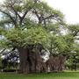 Treesu